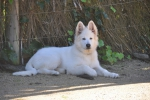 CH Soverenpark Aurick (White Swiss Shepherd owned by Pandorras)