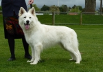 Pandorras Fire-Dragon (White Swiss Shepherd)