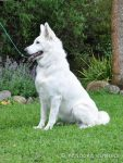 Rosamontana Angel Bells import by Pandora Kennels